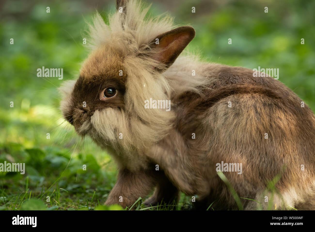 Un mignon lapin nain brun (lions head) reposant dans l'herbe Banque D'Images