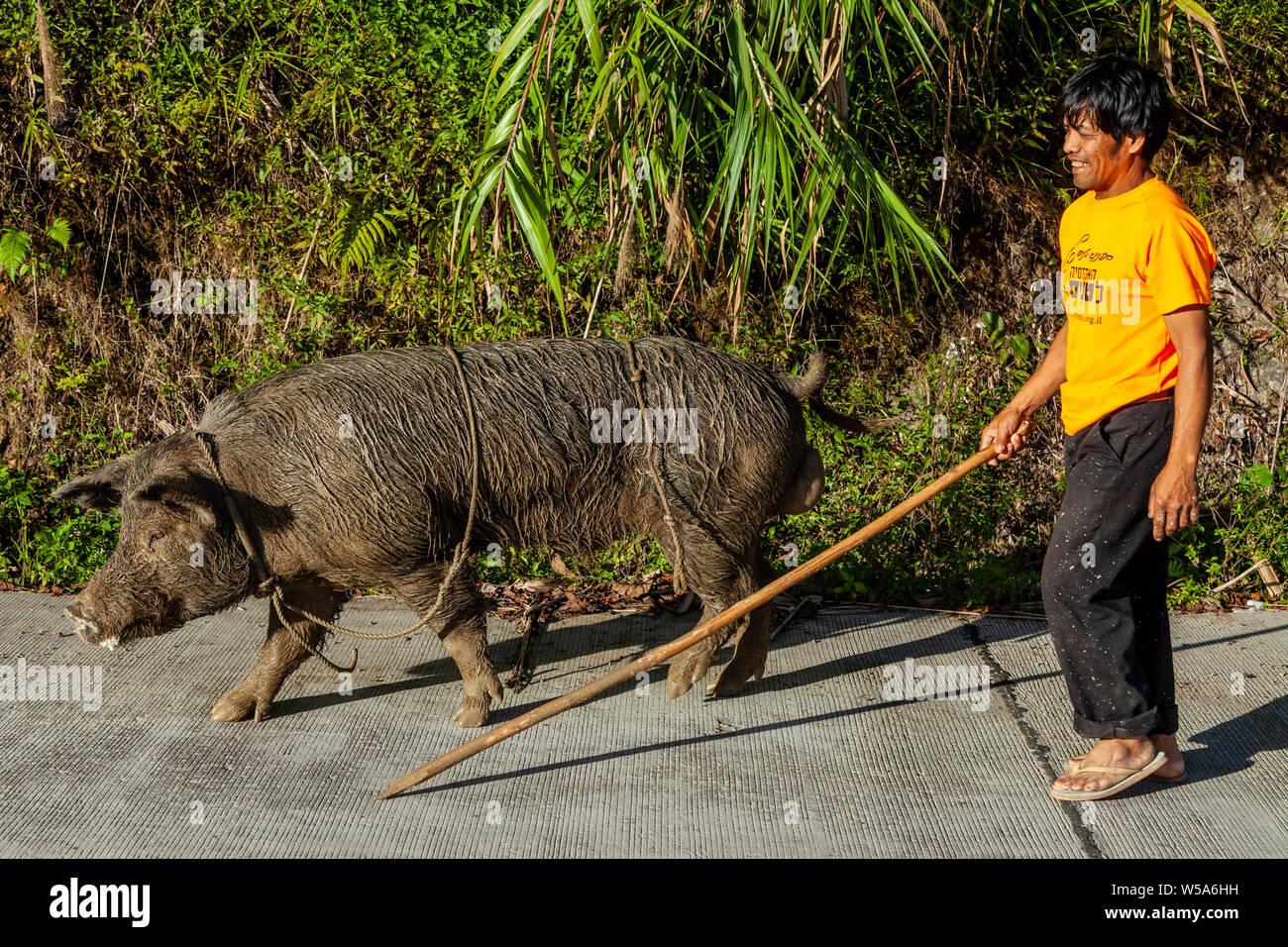 Un homme avec un bâton à marcher avec son cochon, Banaue, Luzon, Philippines Banque D'Images
