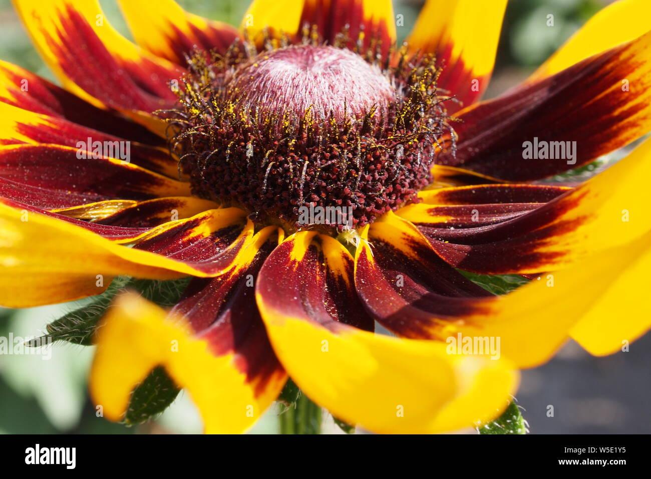 Side Shot close-up of a Gloriosa Daisy (Rudbeckia hirta) culture des fleurs dans un jardin de Glebe, Ottawa, Ontario, Canada. Banque D'Images