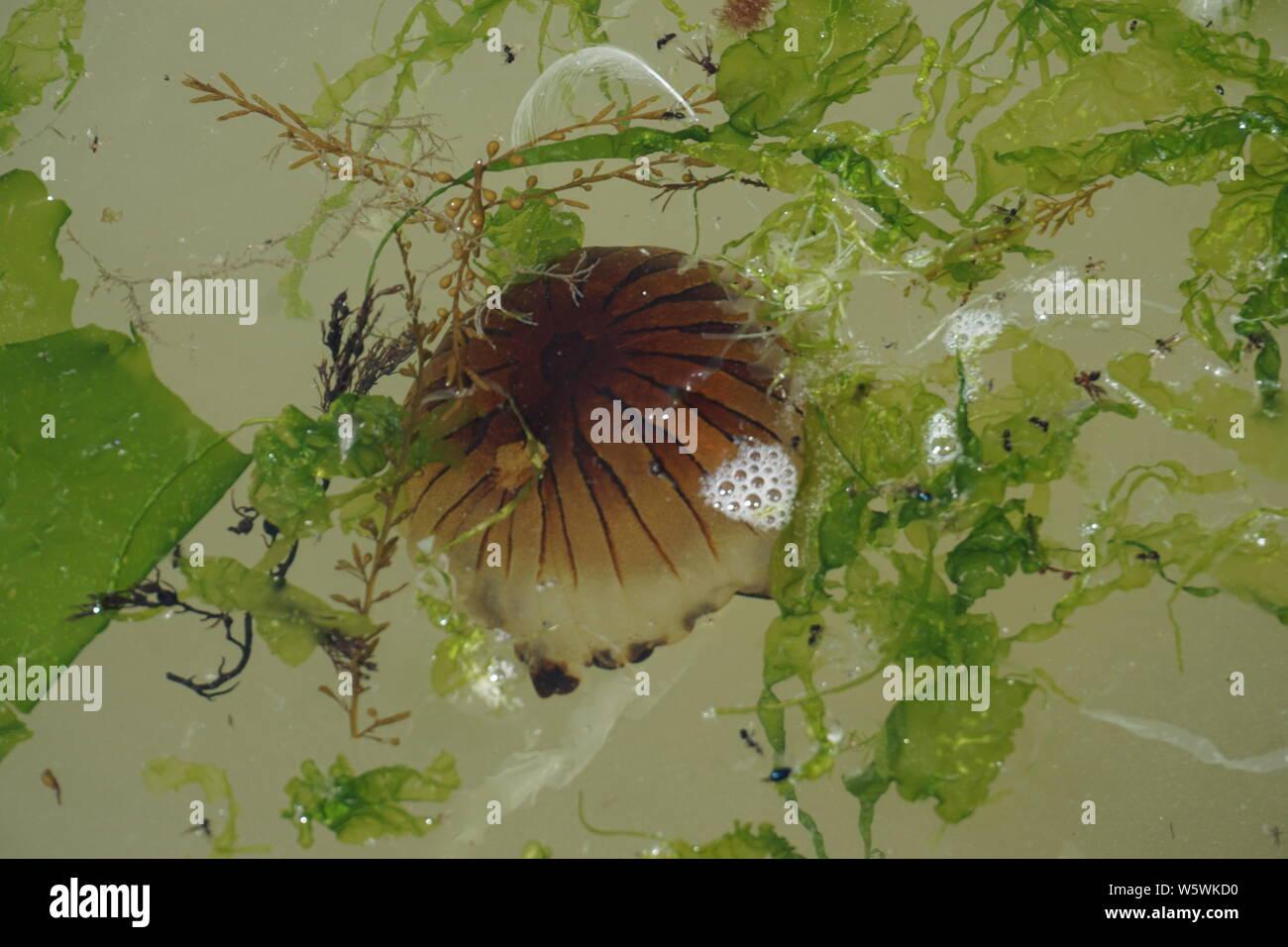 Jelly fish nager avec les algues d'un vert vif dans la mer Banque D'Images
