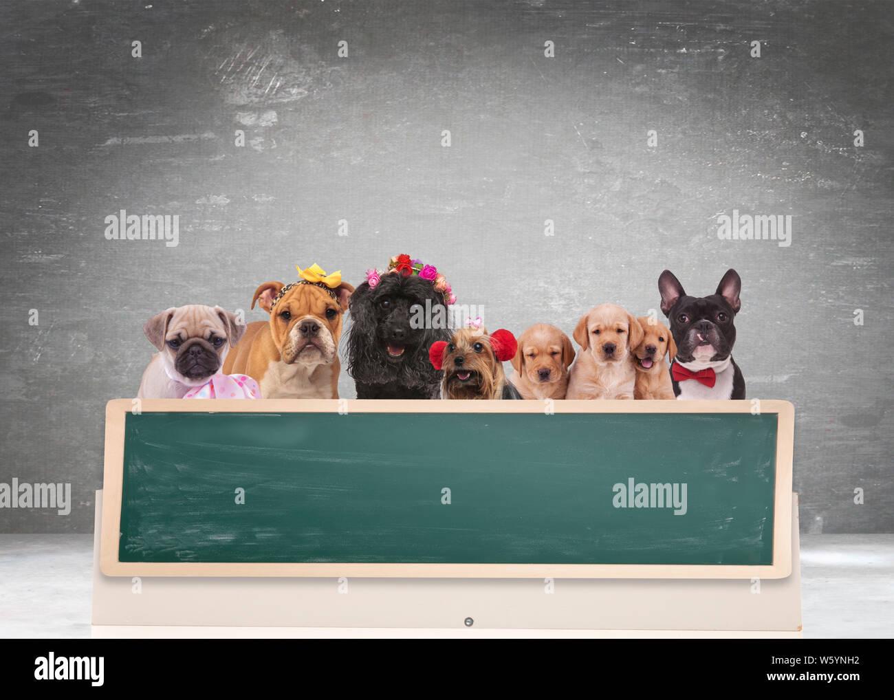 Équipe de cute chiens derrière de gros tableau noir contre blanc fond gris Banque D'Images