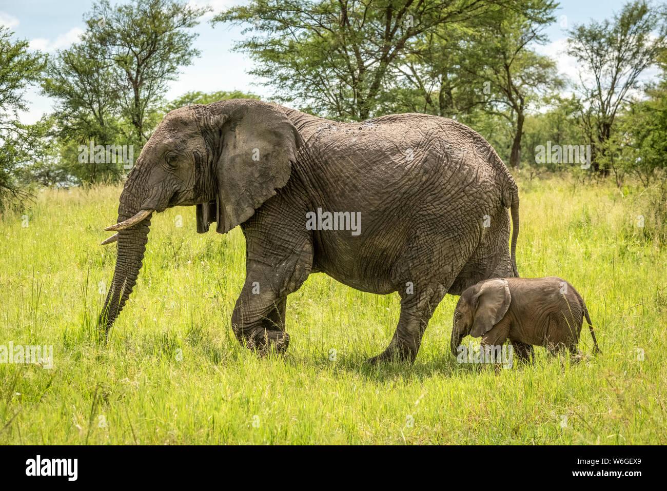 L'éléphant d'Afrique (Loxodonta africana) et le veau marchent à travers le défrichement, parc national du Serengeti; Tanzanie Banque D'Images