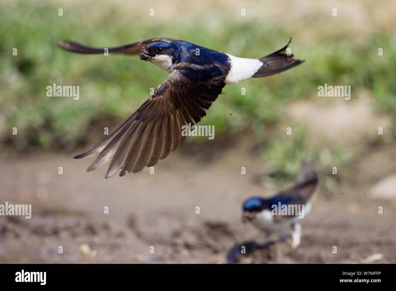 (Delichon urbicum) la collecte de l'argile pour la construction du nid, peut Banque D'Images