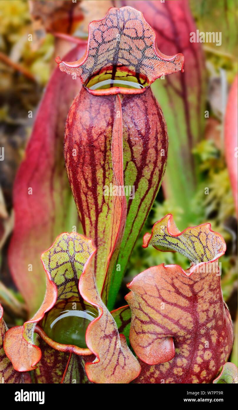 Le nord de la sarracénie pourpre (Sarracenia purpurea) plantes carnivores. Baxter State Park, Maine. Septembre 2012. Banque D'Images