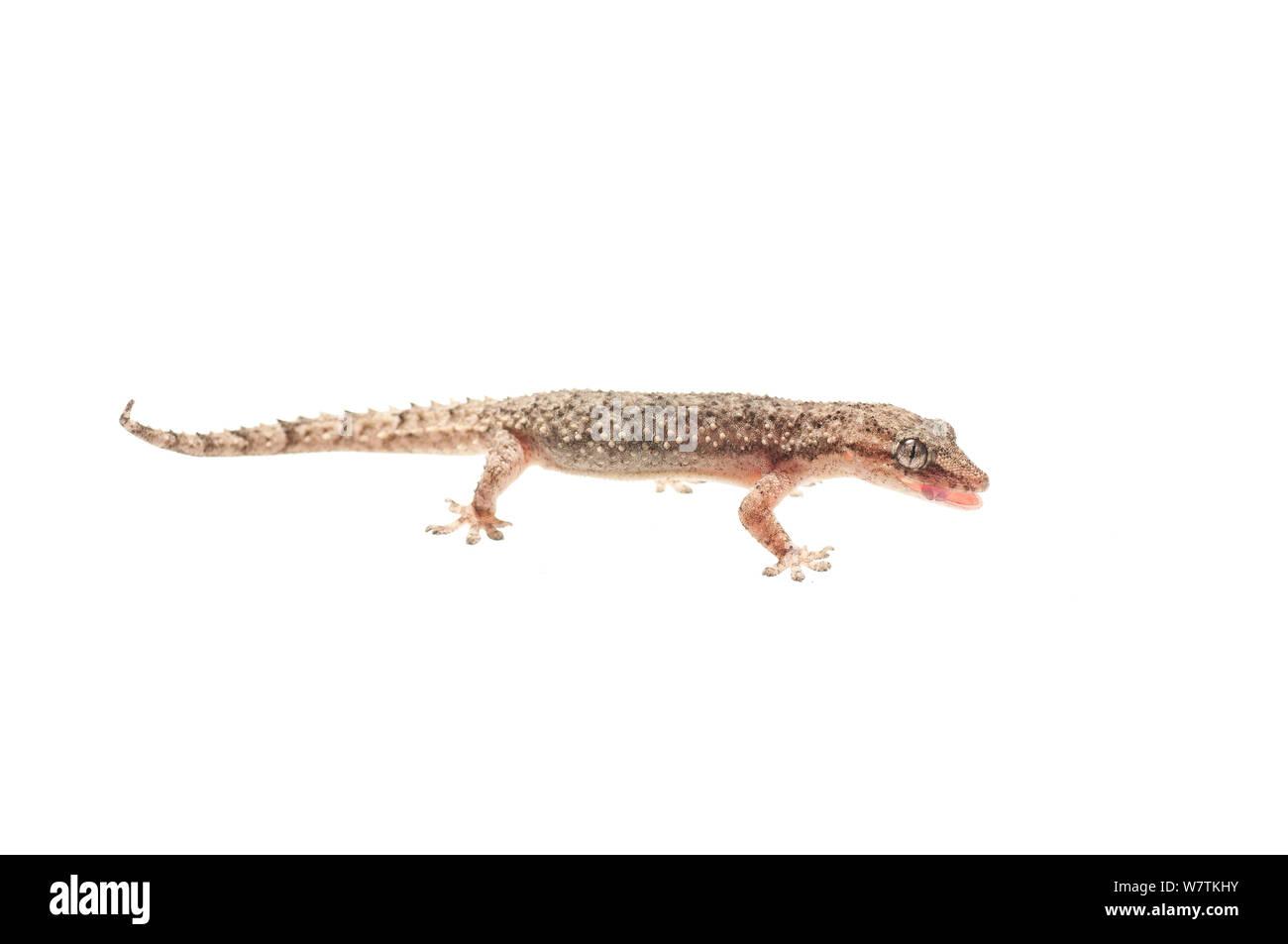 Chambre gecko (Hemidactylus palaichthus) Kusad Mountain, au Guyana. Projet d'Meetyourneighbors.net Banque D'Images