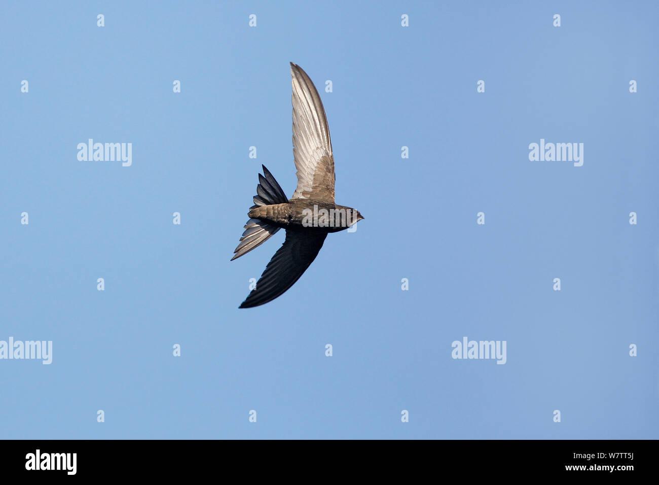 Swift Apus apus (commune) en vol, Wirral, Merseyside, Royaume-Uni, juillet. Banque D'Images