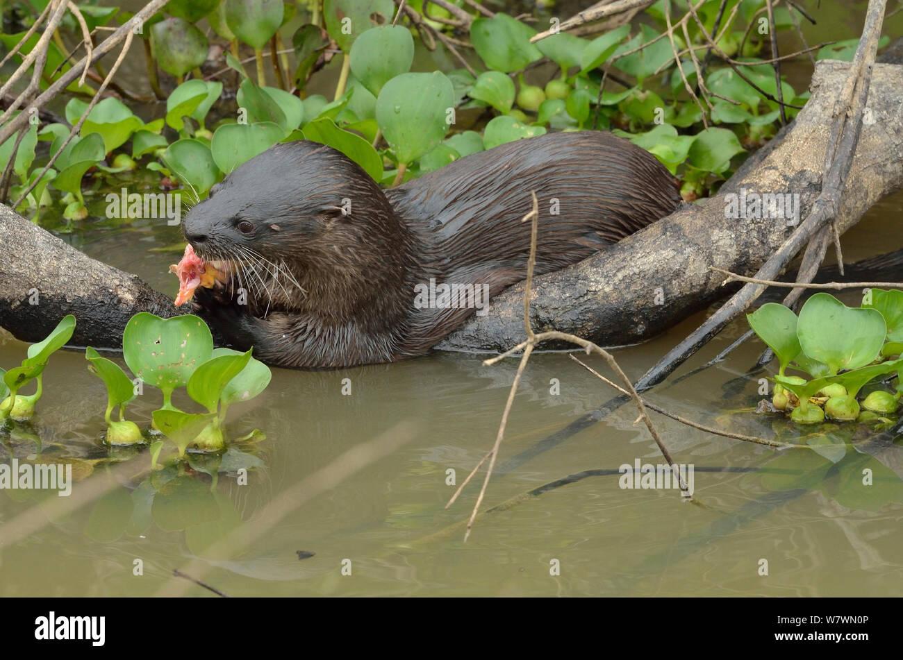 Neotropical loutre de rivière (Lontra longicaudis) manger un poisson, Pantanal, Mato Grosso, l'ouest du Brésil. Banque D'Images