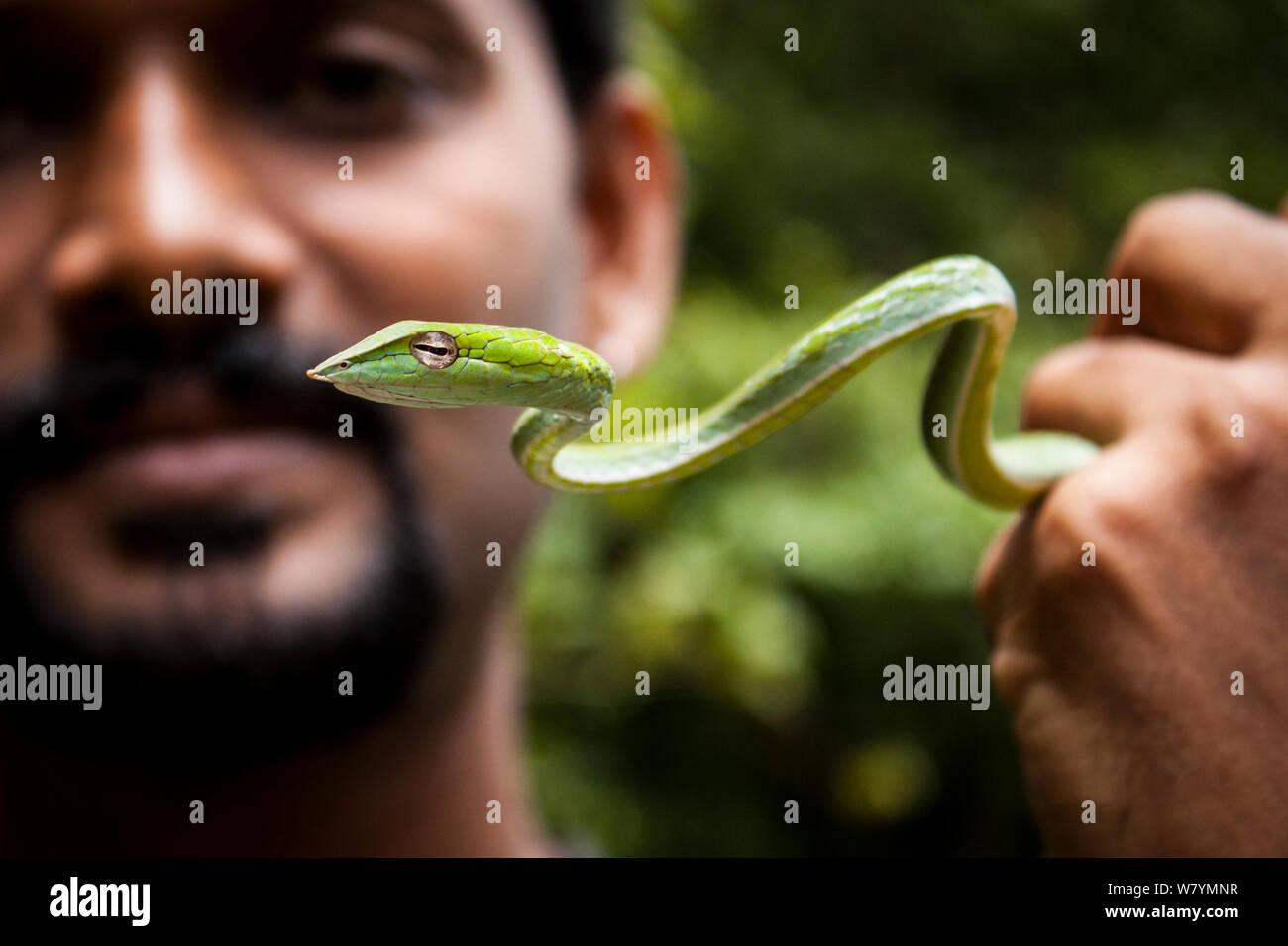 Man holding juvenile vine snake (Ahaetulla nasuta), Agumbe, Thirthahalli taluk, Malnad, Karnataka, en Inde, en juillet. Banque D'Images