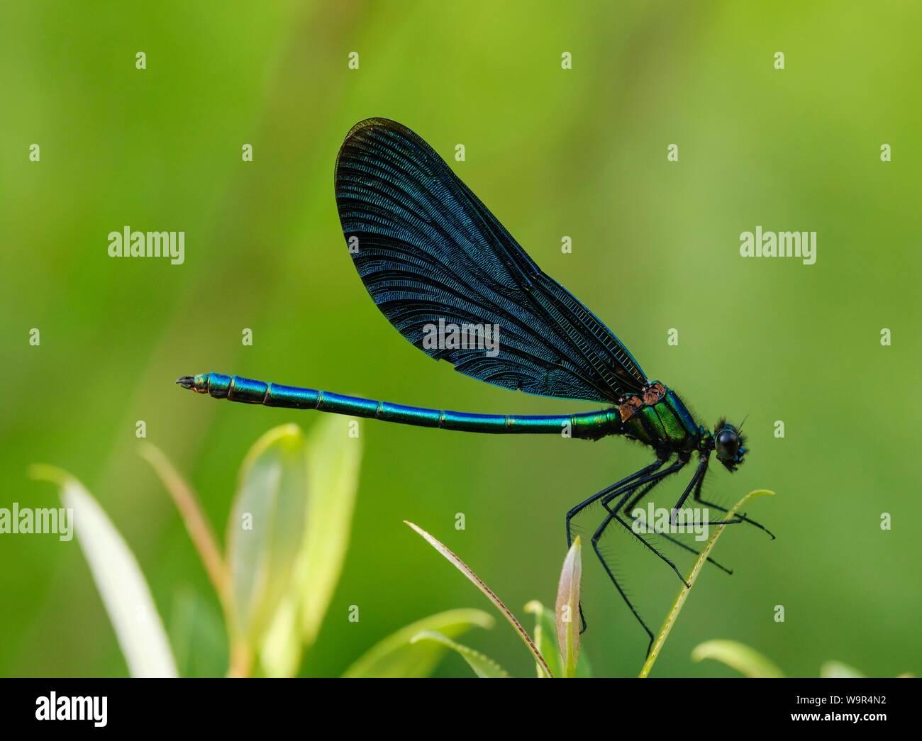 Belle demoiselle (Calopteryx virgo), homme, réserve naturelle Isarauen, Bavière, Allemagne Banque D'Images