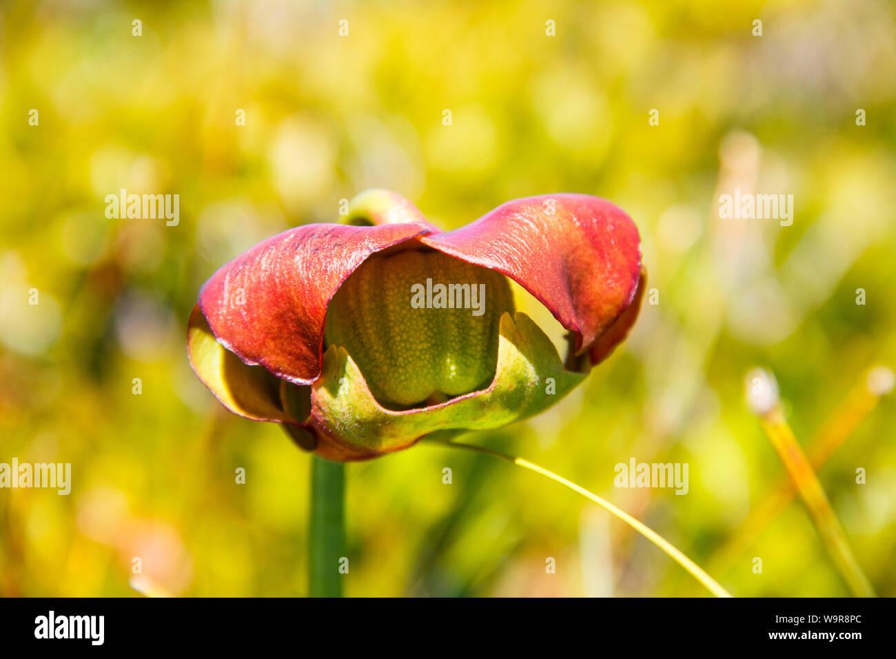 Sarracénie pourpre, parc national Kejimkujik Kejimkujik Bord, Nationalpark, Nouvelle-Écosse, Canada, (Sarracenia purpurea) Banque D'Images