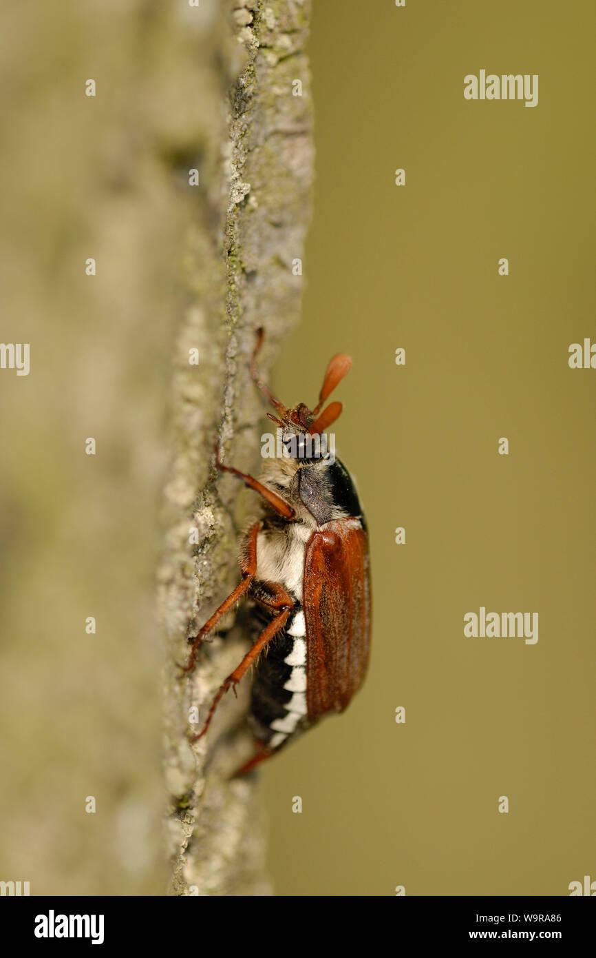 Catégorie: Commune de chêne sur tronc , Melolontha melolontha Banque D'Images