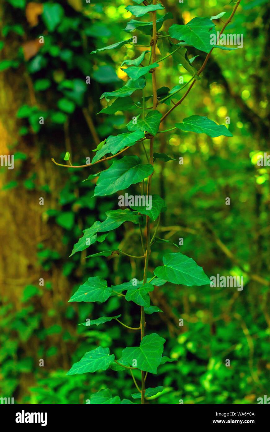 Arrière-plan vertical - tige de Colchide lierre sur un fond vert de forêt subtropicale Banque D'Images