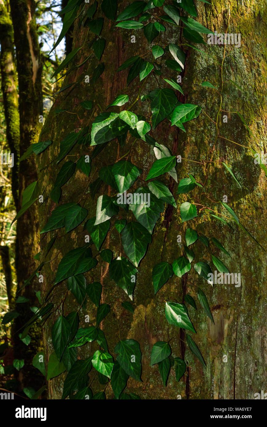 Arrière-plan vertical - colchide lierre sur un tronc d'arbre moussu à sec Banque D'Images