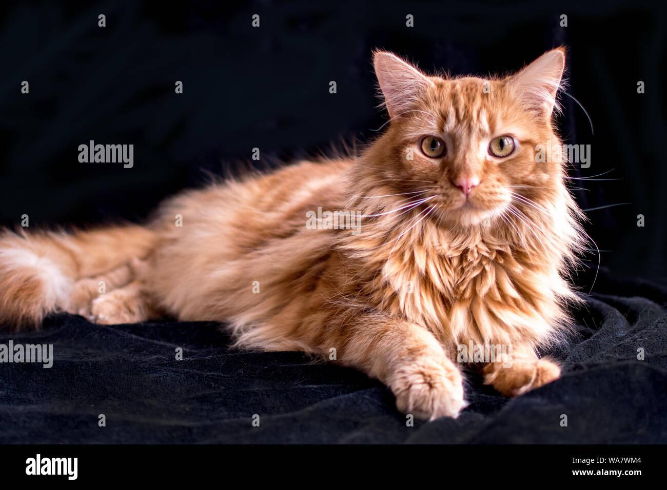 Beau chat tigré orange posant sur un fond noir Banque D'Images