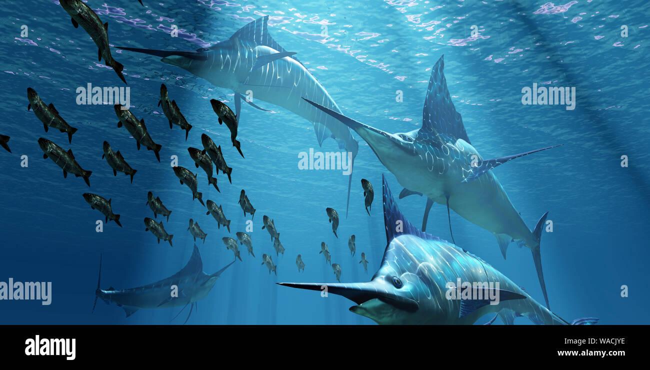 Un pack de makaire bleu de l'océan Les poissons prédateurs chasser une école de pêche du hareng du Pacifique. Banque D'Images