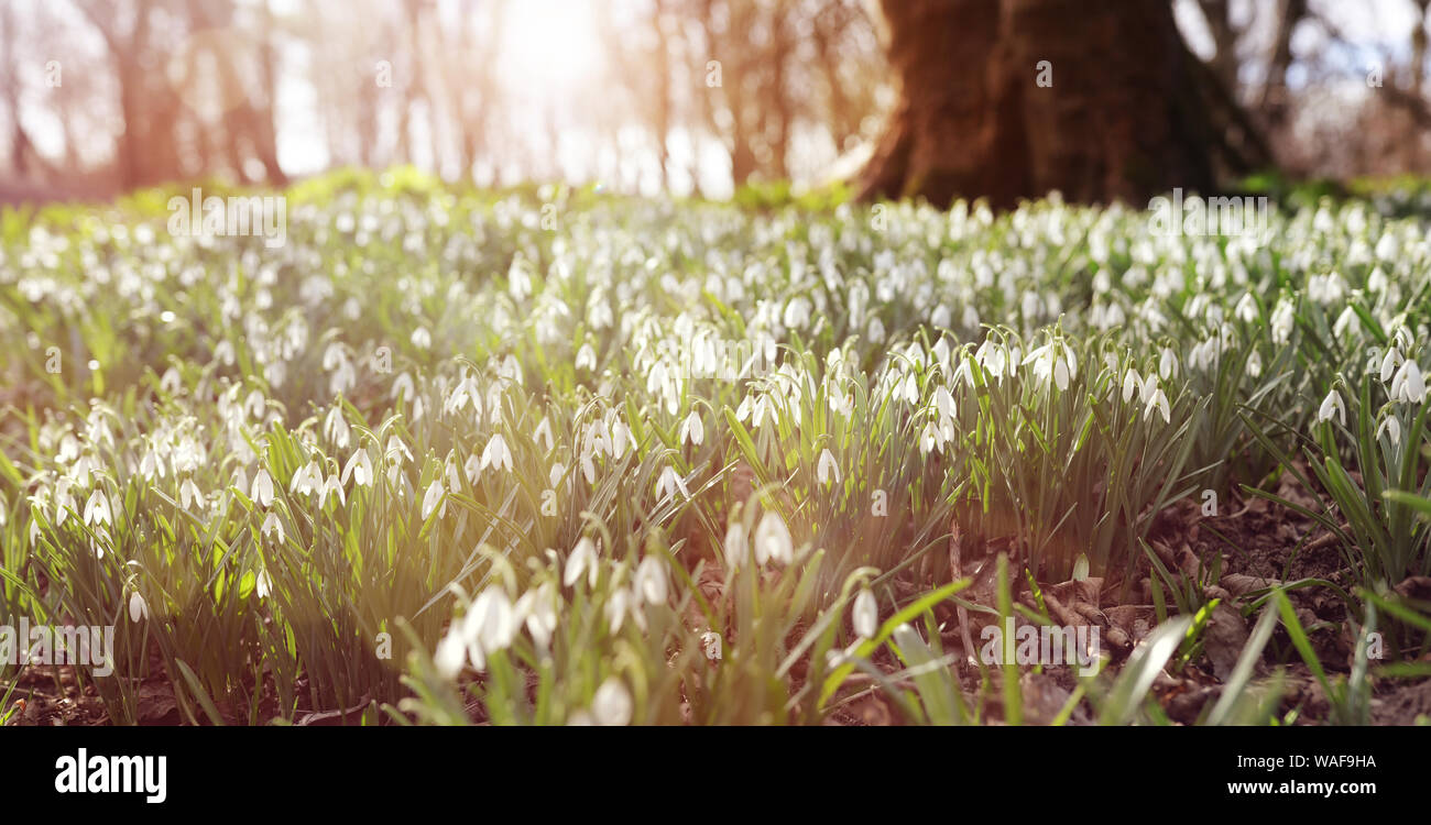 Perce-neige dans la lumière du soleil du matin de la forêt fond de printemps Banque D'Images