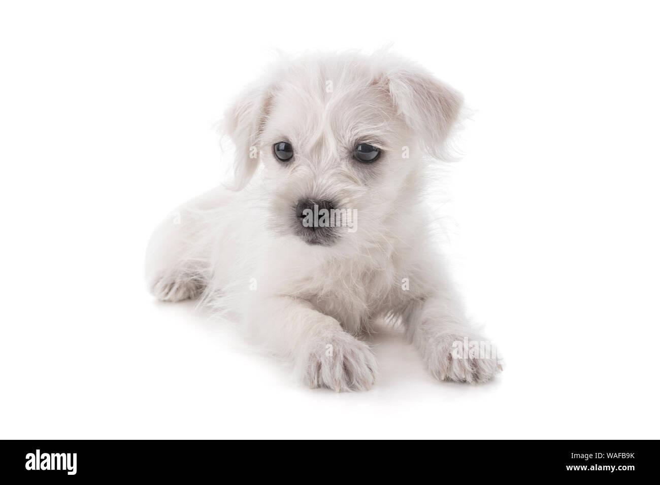 Maltese Westie ou West Highland Terrier puppy dog isolé sur fond blanc Banque D'Images