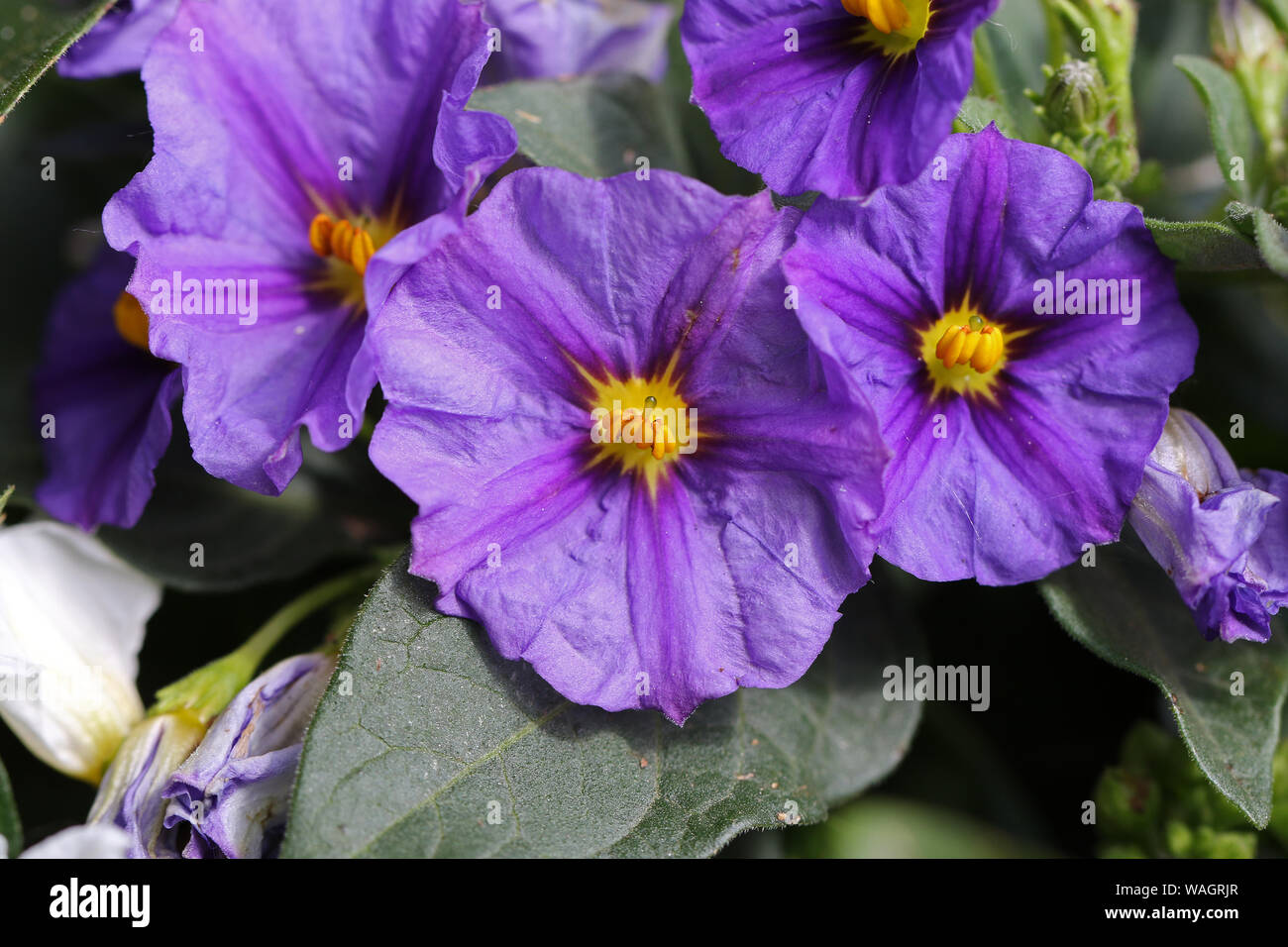 Fleur Toxique Pour L Homme purple yellow flower nightshade solanum photos & purple