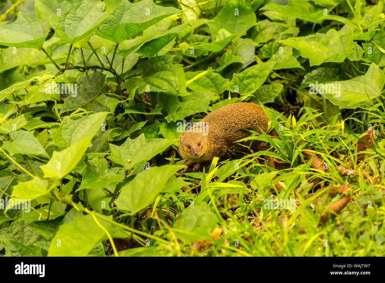 USA, Hawaii, Akaka Falls State Park. Petite mangouste indienne. En tant que crédit: Cathy & Gordon Illg / Jaynes Gallery / DanitaDelimont.com Banque D'Images