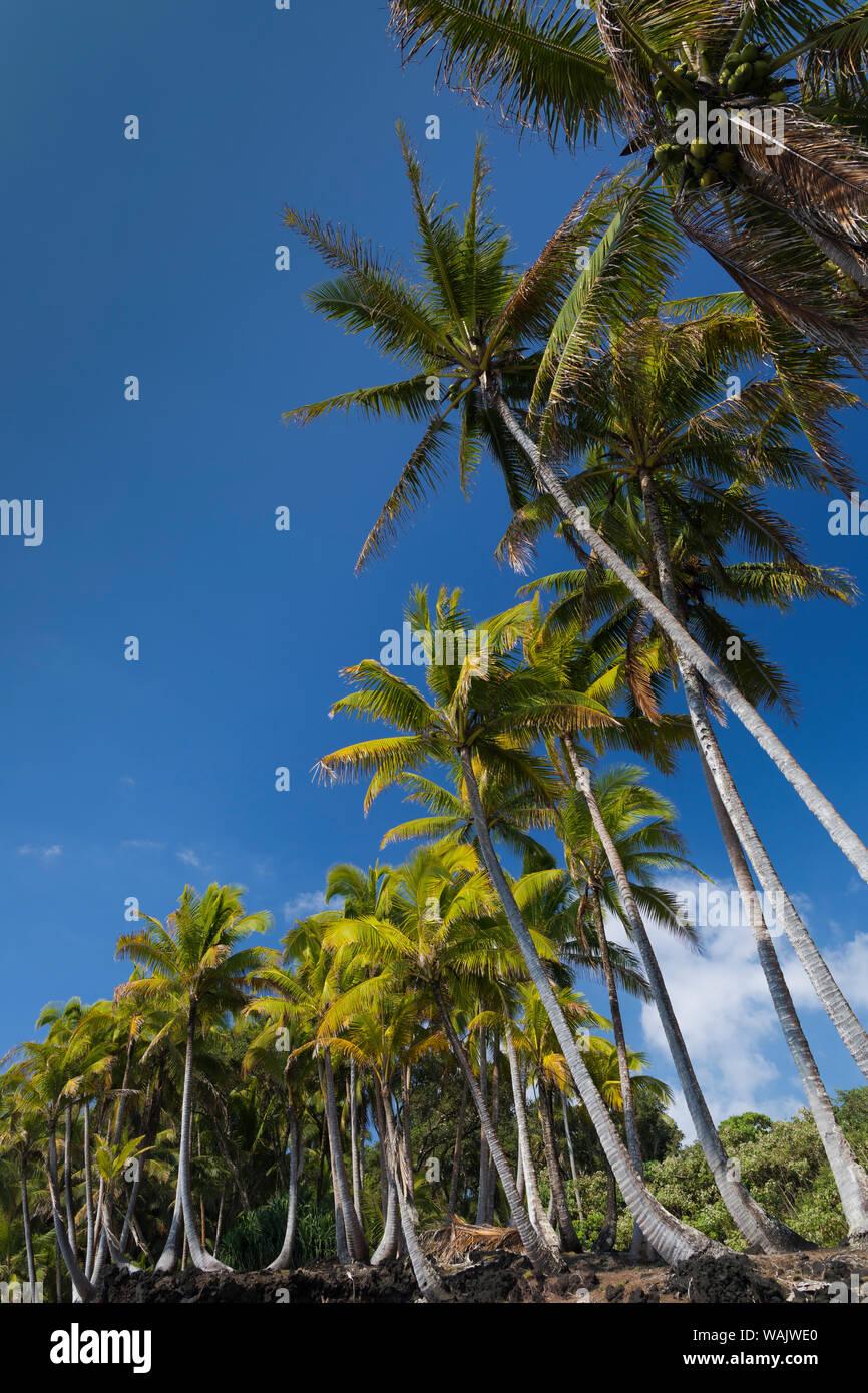 Palmiers le long de la côte de la Puna, Big Island, Hawaii, (avant la coulée de lave de 2018) Banque D'Images