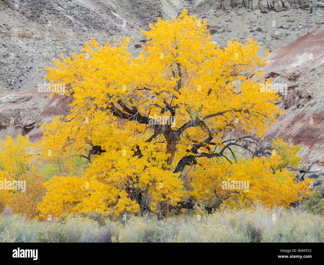 USA, Utah. Le comté de Wayne, les collines bleues, Golden Fremont peupliers Banque D'Images