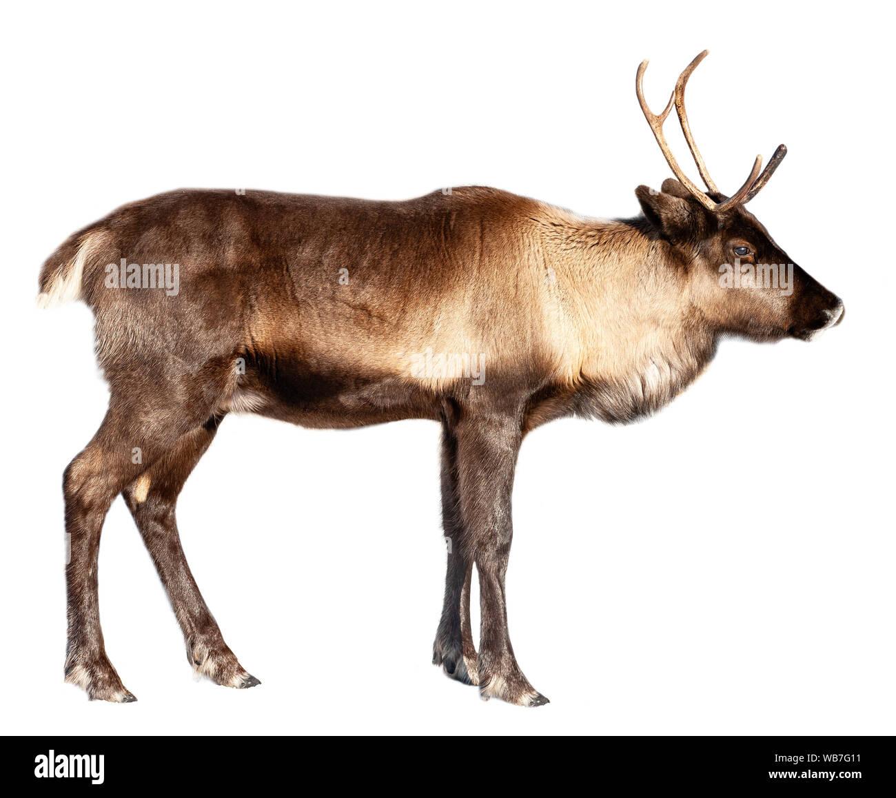 Image d'un cerf du nord sur un fond blanc Banque D'Images