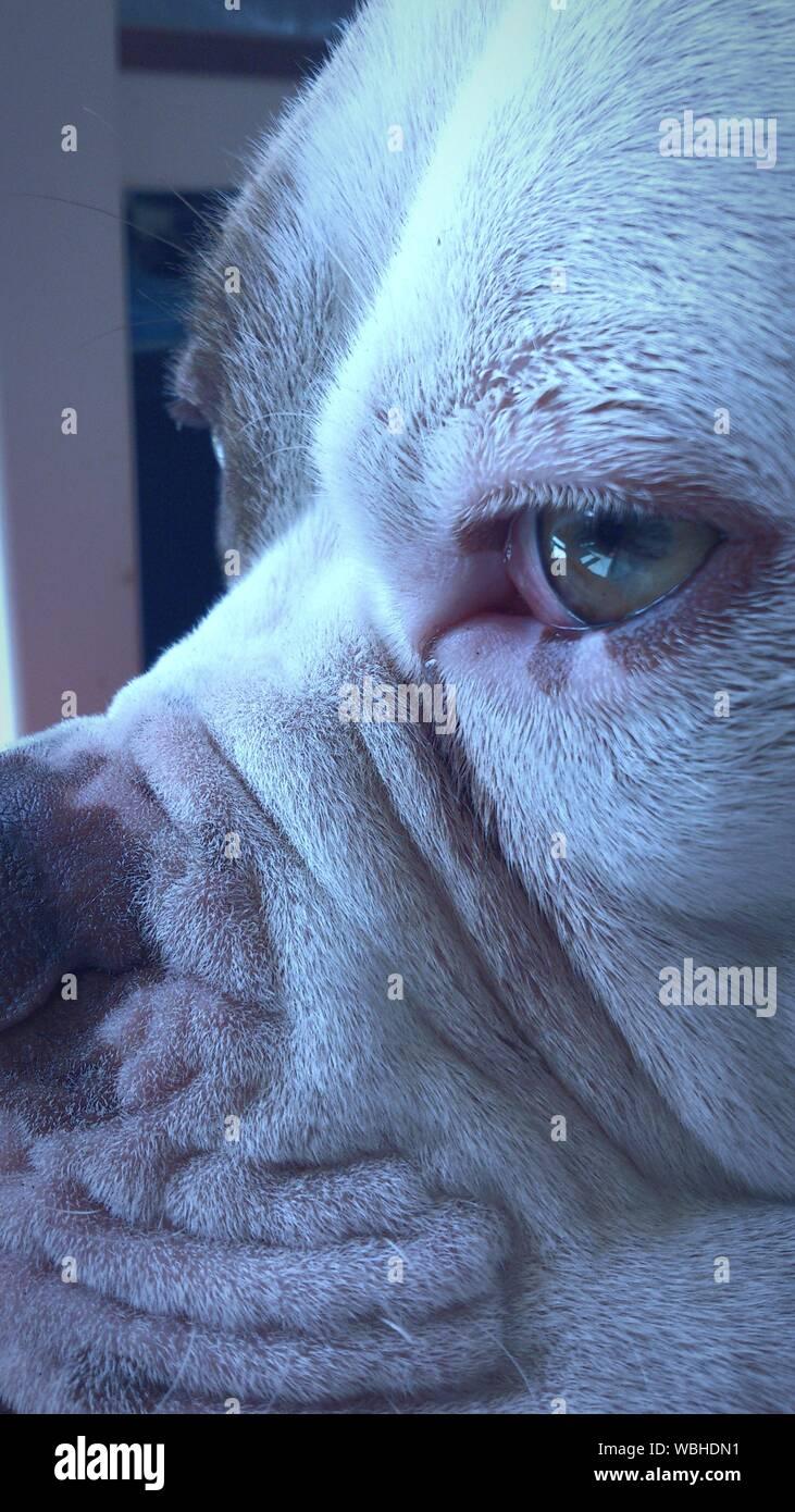 Close-up of American Bulldog Banque D'Images