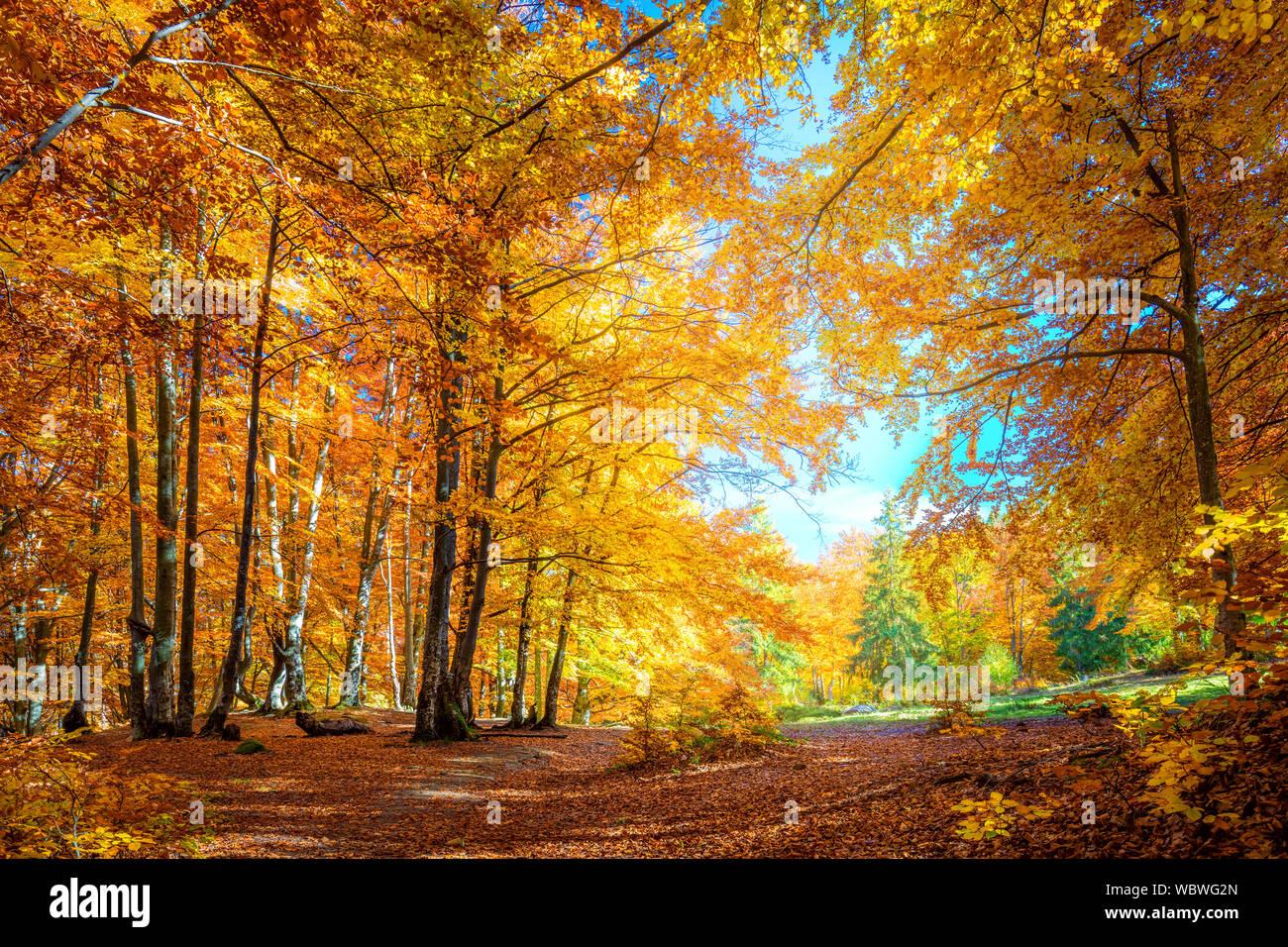 foto de Journée ensoleillée dans la forêt d'automne, jaune d'orangers ...