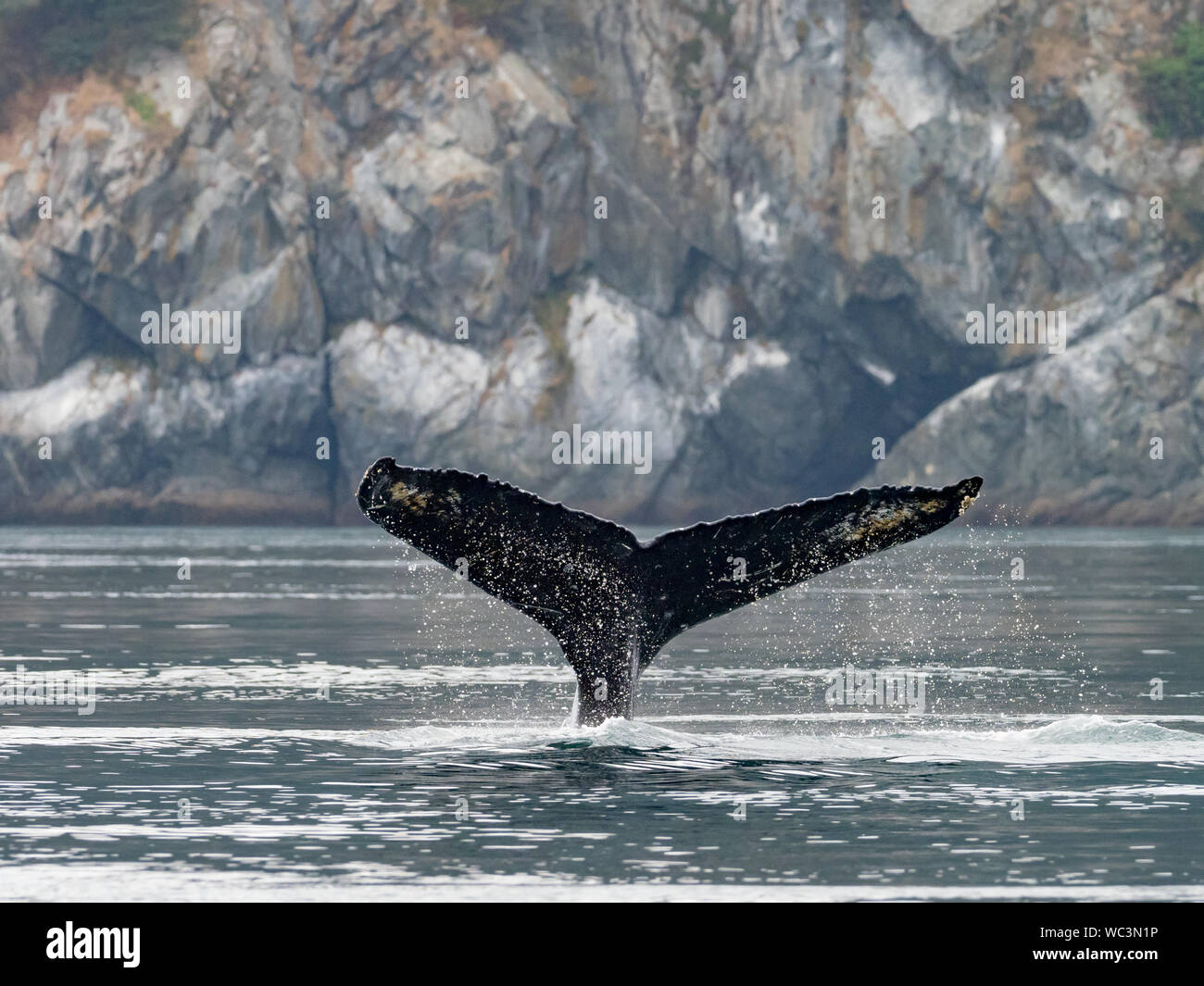 Rorqual à bosse, Megaptera novaeangliae, plongée et montrant sa queue nageoire dans l'océan dans le passage de l'intérieur sud-est de l'Alaska Banque D'Images