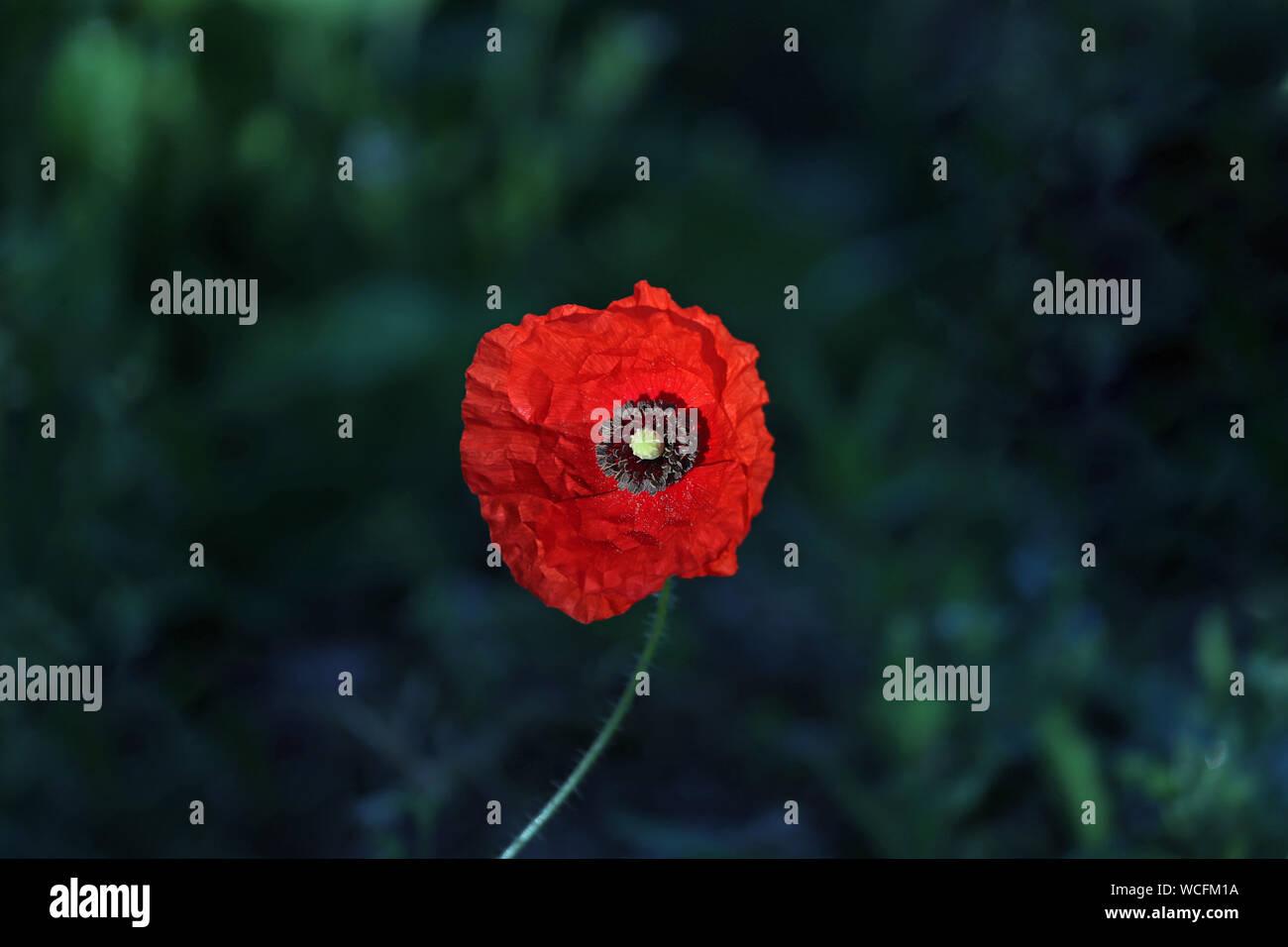 Patch Emblème Fleur Coquelicot Rouge Memorial Souvenir Veteran/'s Day