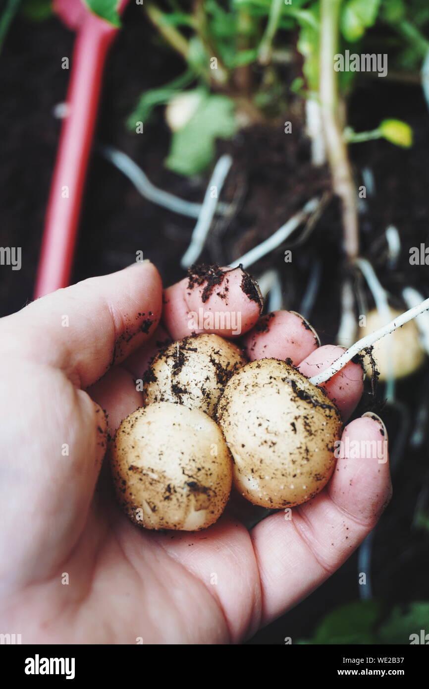 Portrait Of Hand Holding Pommes de terre boueuse Banque D'Images