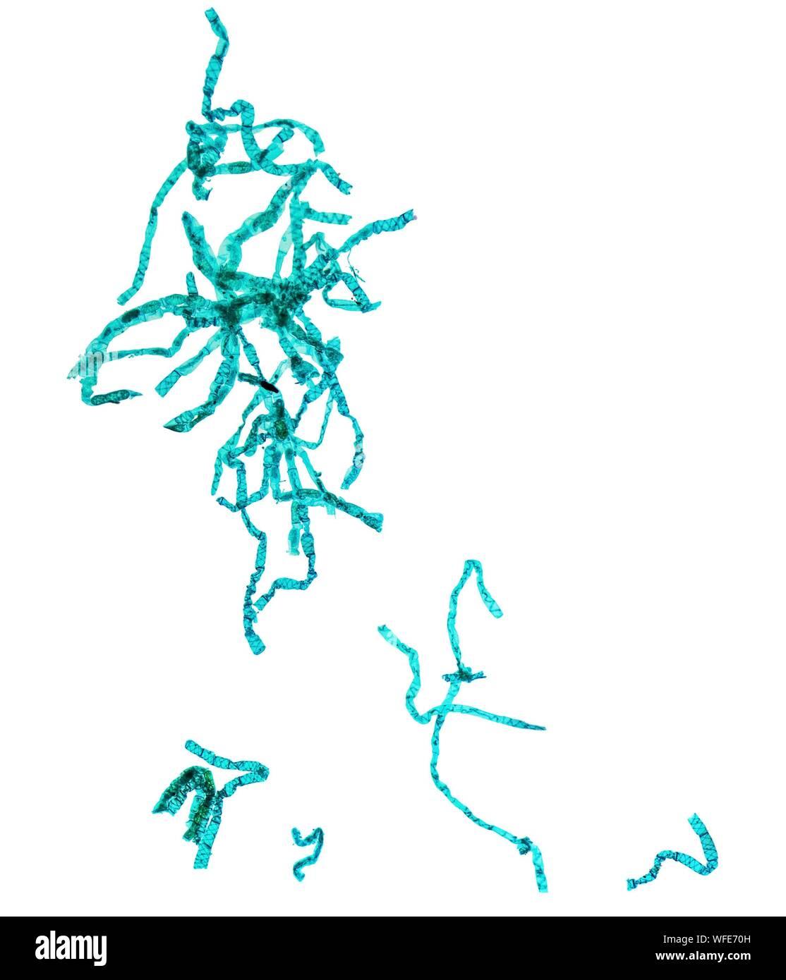 Vue microscopique de bactérie sur fond blanc Banque D'Images