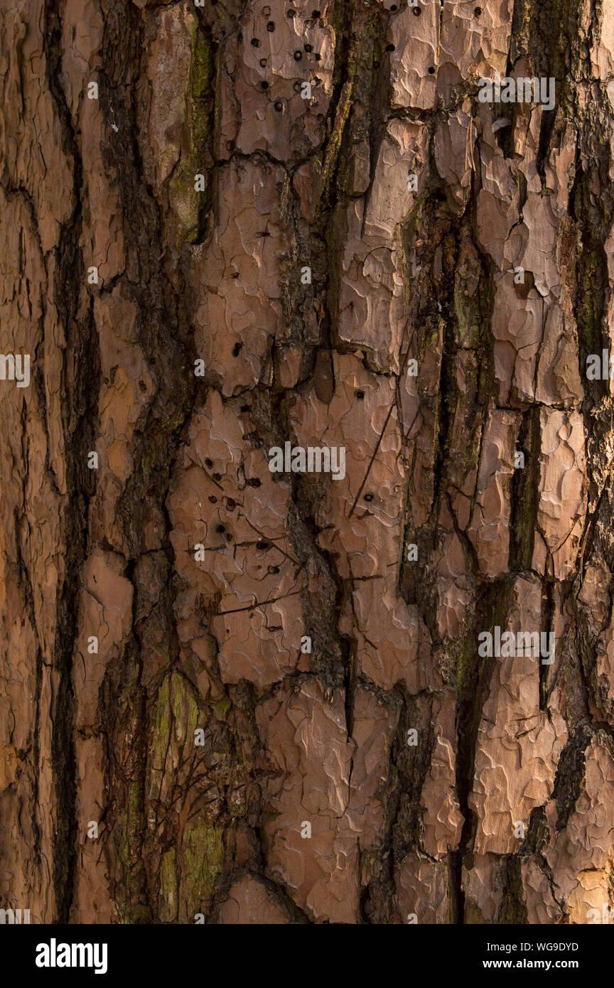 La texture de l'écorce d'un grand arbre pin Banque D'Images