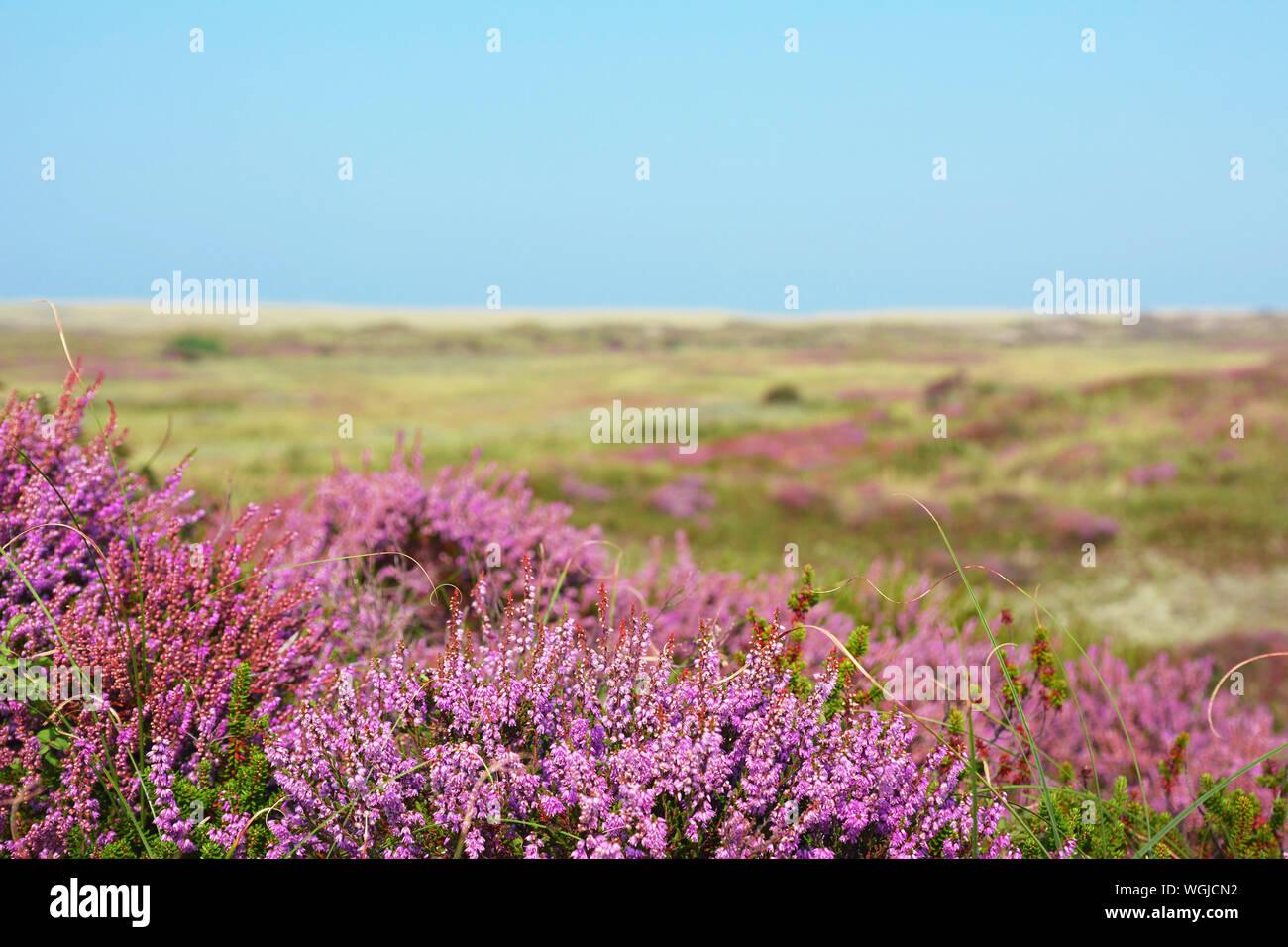Blooming violet heather Calluna vulgaris 'plantes' en réserve naturelle appelée 'bollekamer' sur l'île de Texel aux Pays-Bas Banque D'Images