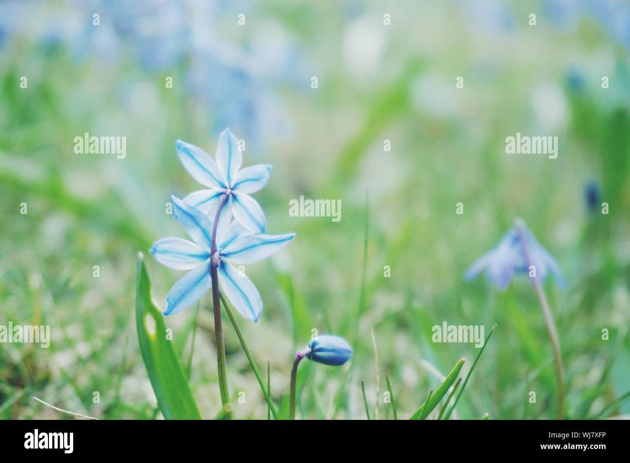 Ordinaires étoile Hyacinthe-Chionodoxa Luciliae