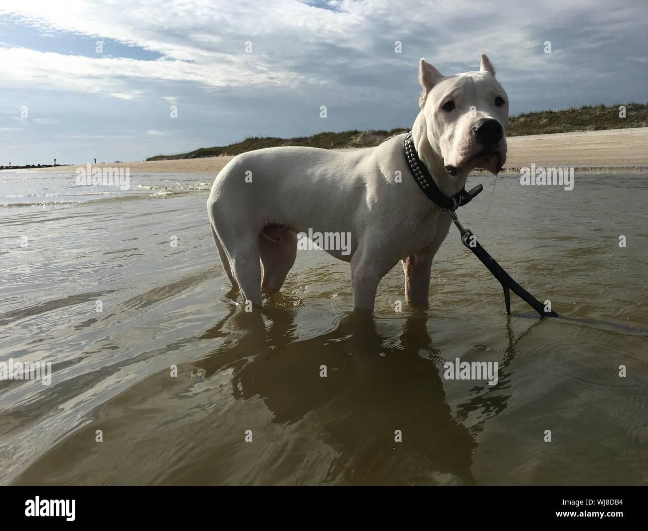 Portrait of white American Staffordshire Terrier en mer Banque D'Images