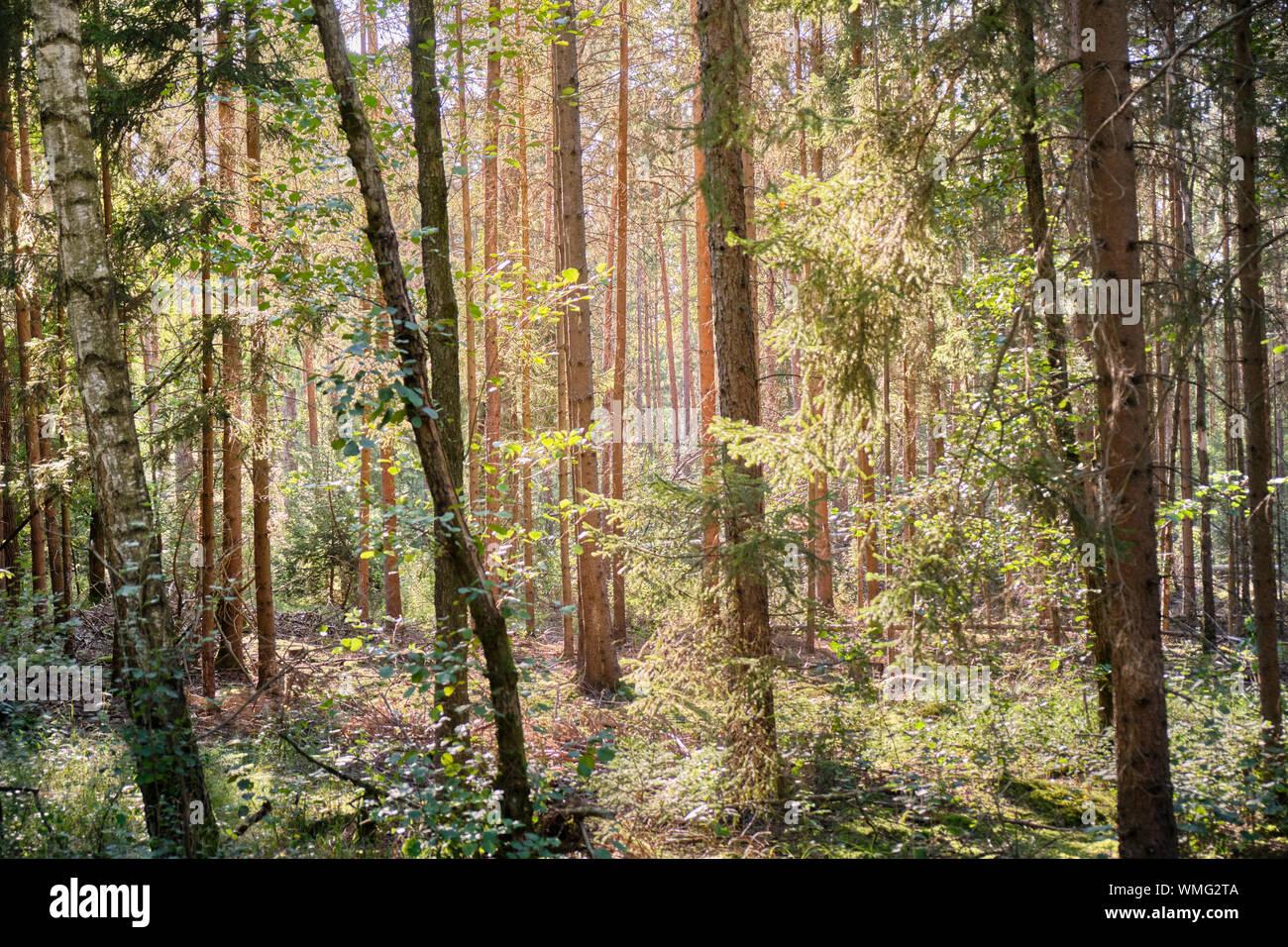 Belle forêt de l'été de la Franconie avec de nombreux conifères dans le Nürnberger Land en Allemagne près de Schönberg Banque D'Images