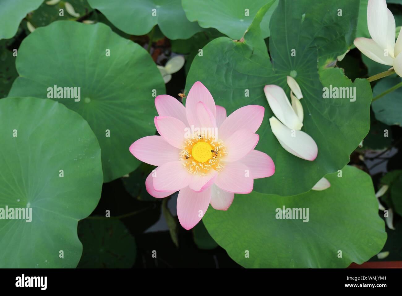 Portrait de fleur de lotus qui fleurit en plein air Banque D'Images