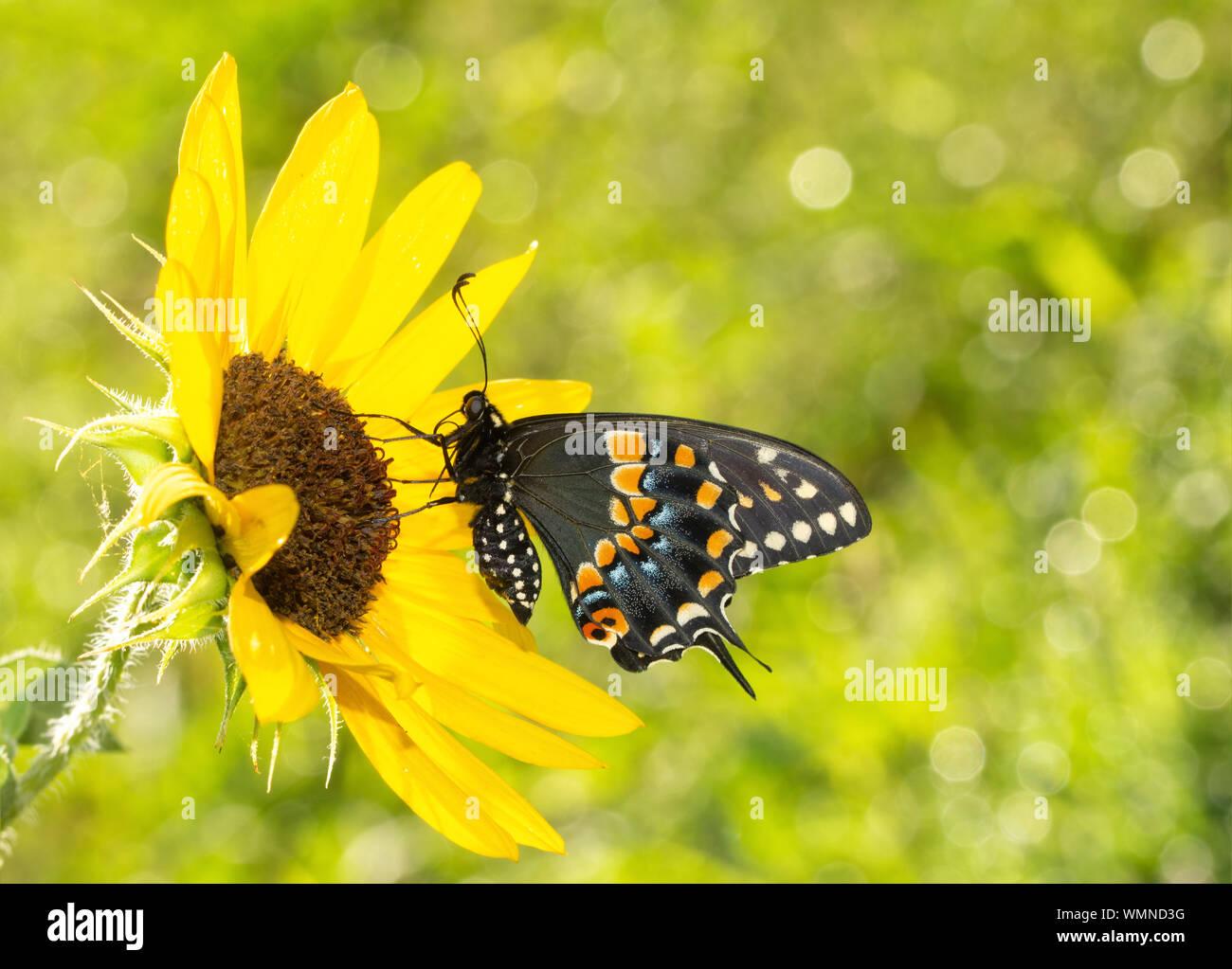 Vue ventrale d'une belle black swallowtail butterfly sur un tournesol au soleil du matin Banque D'Images