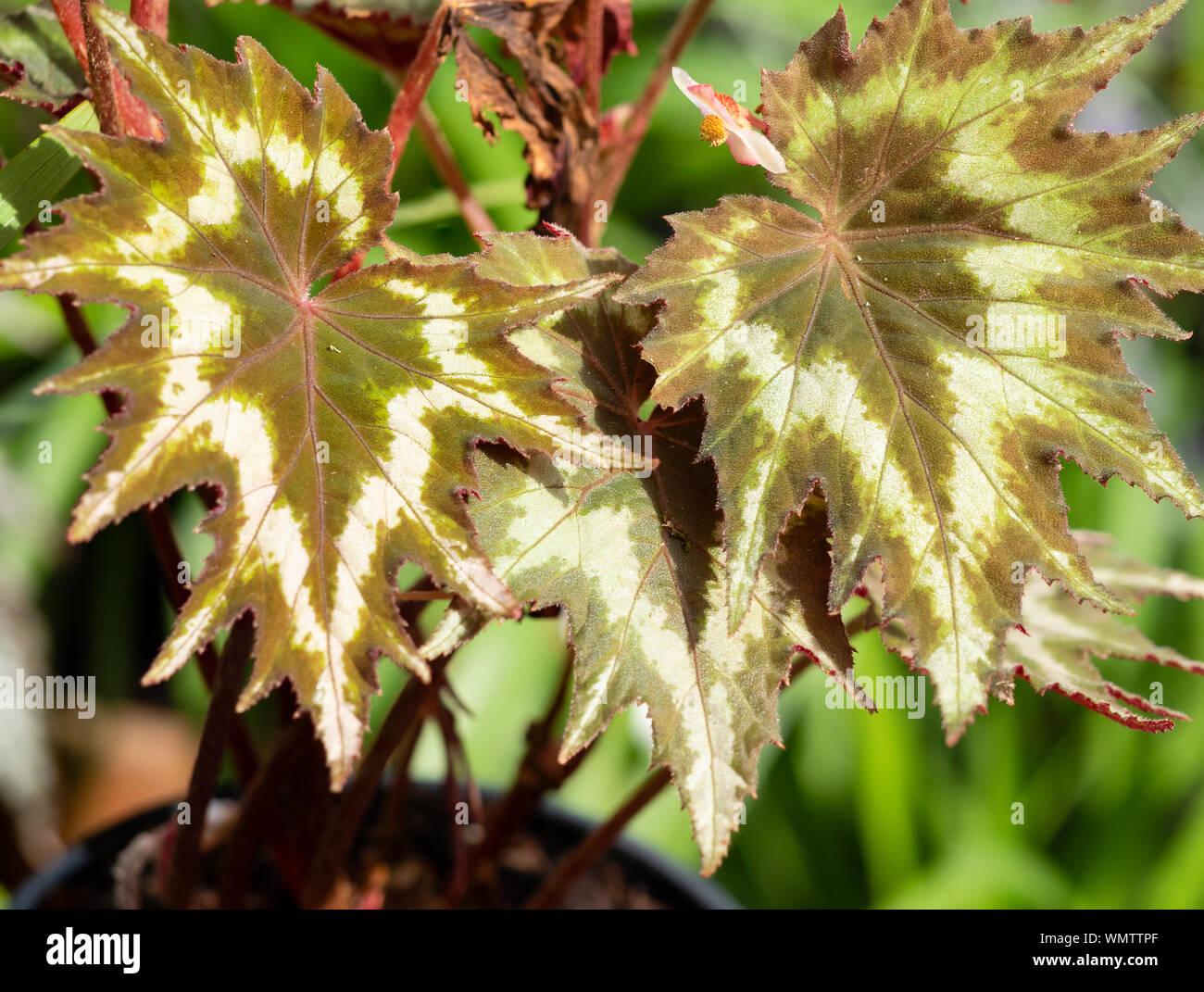 À motifs de feuillage dentelé, la moitié de la plante vivace, bégonia palmata 'tie dye' Banque D'Images