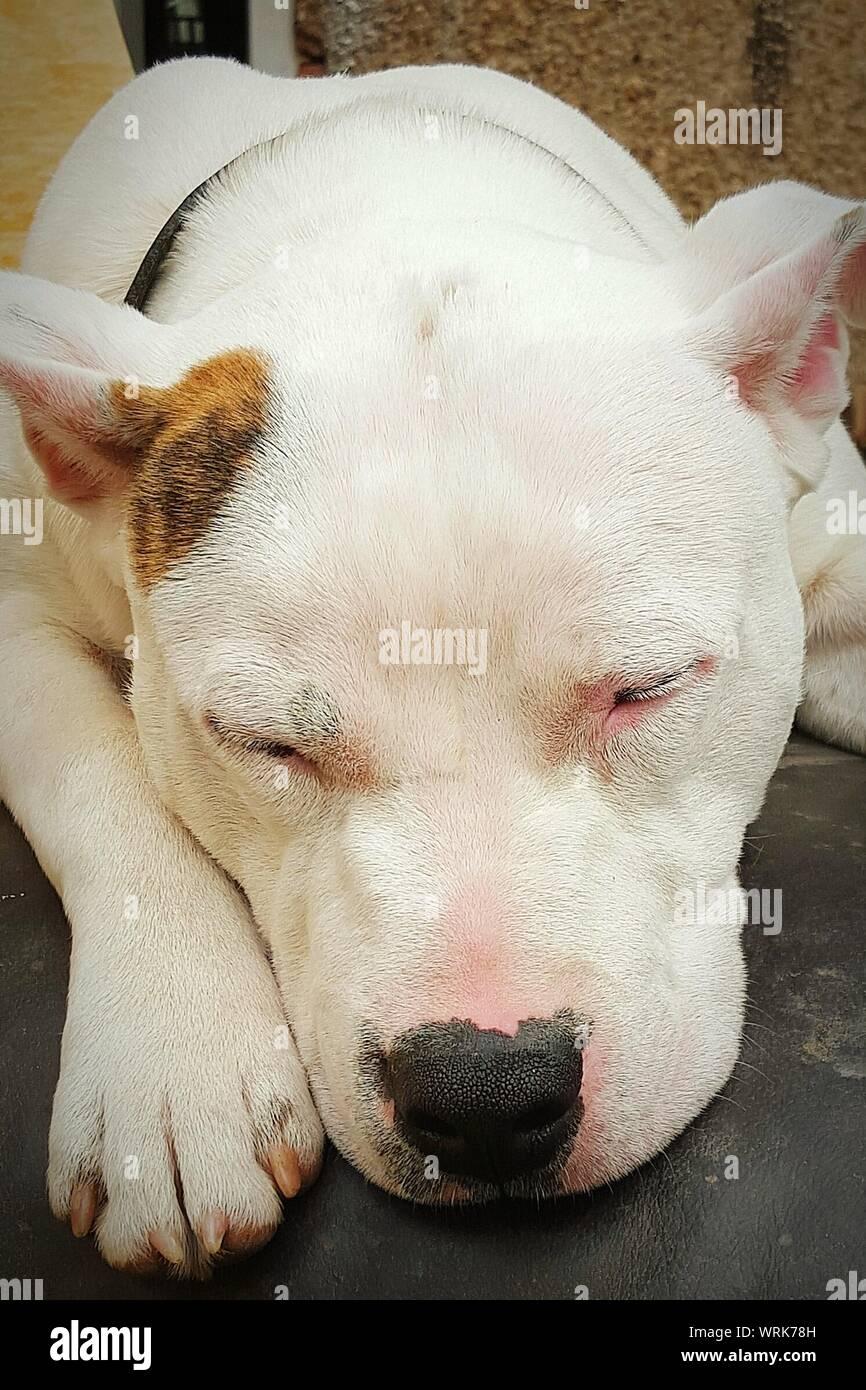 Close-up of Sleeping bulldog américain en plein air Banque D'Images