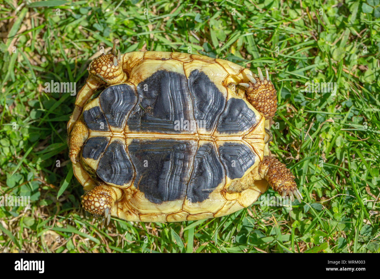 La tortue d'Herman de l'Ouest (Testudo hermanni hermanni). Close up du plastron, ou dessous, montrant le shell continue contrastées coutures jaunes et noires parallèles, côte à côte, d'avant en arrière. L'une des trois caractéristiques d'identification pour cette la sous-espèce nominale. Banque D'Images