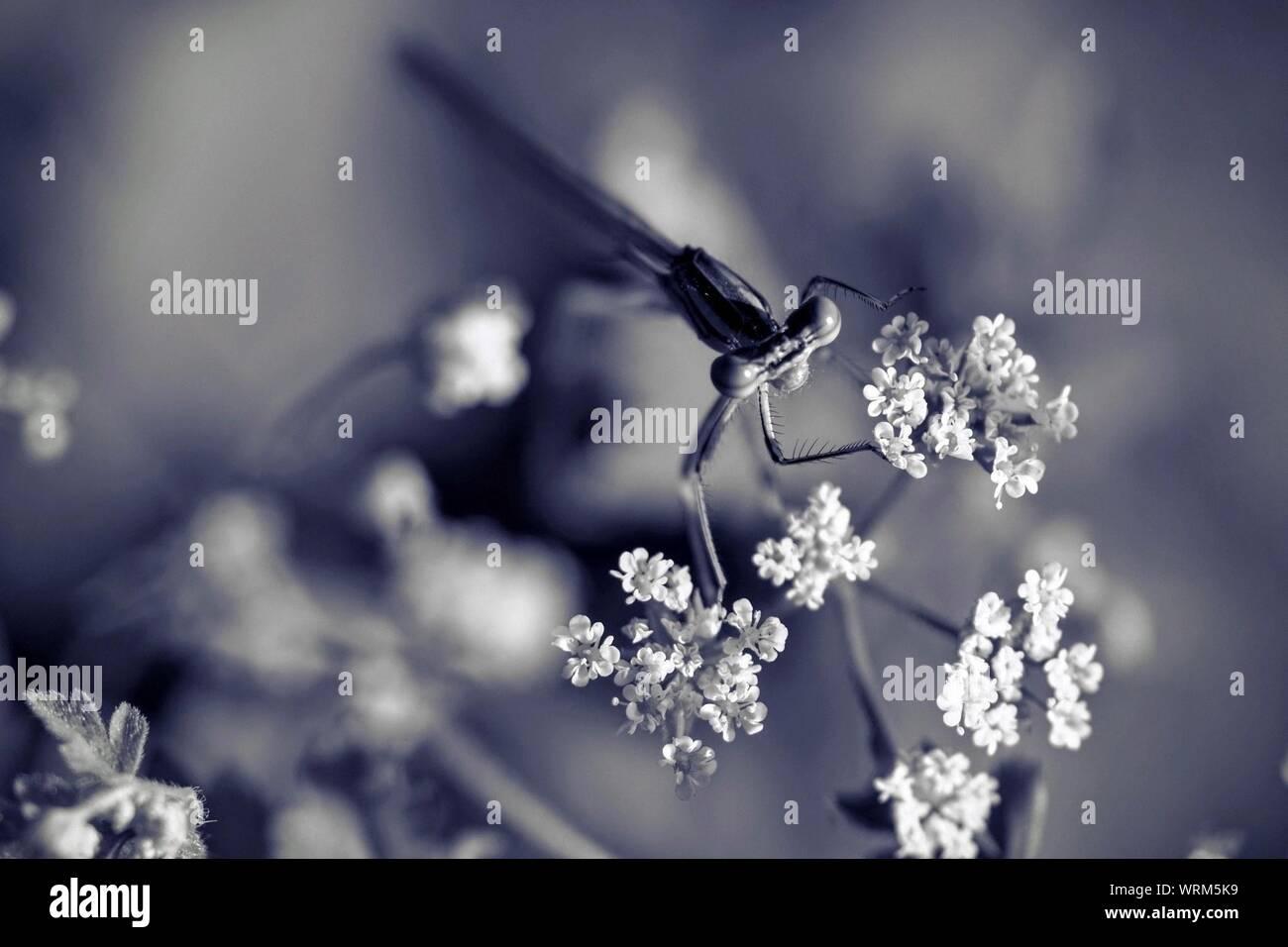 Close-up de libellule sur fleur Banque D'Images