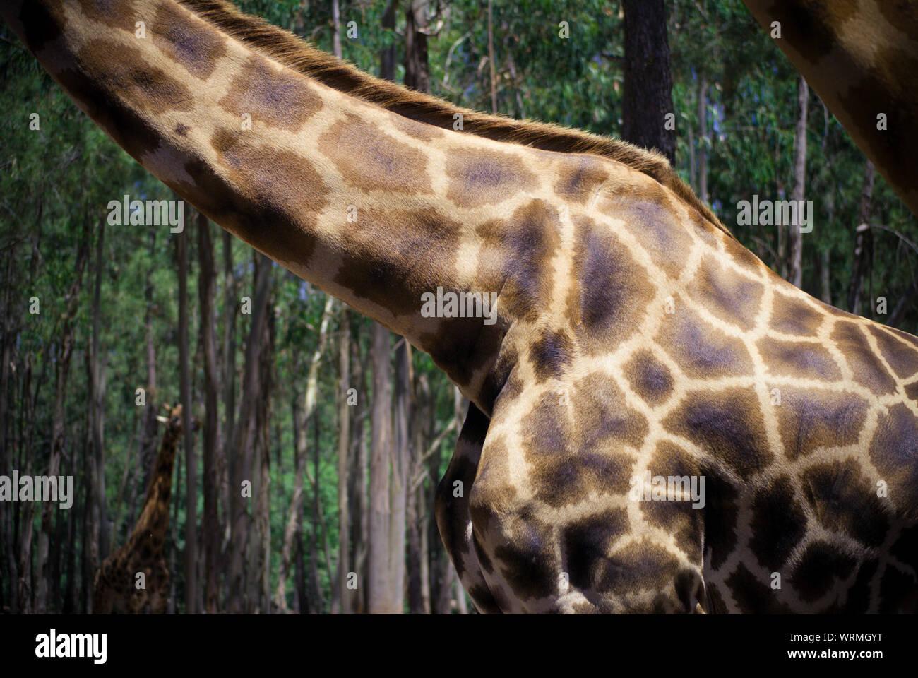 Section centrale de girafe Banque D'Images