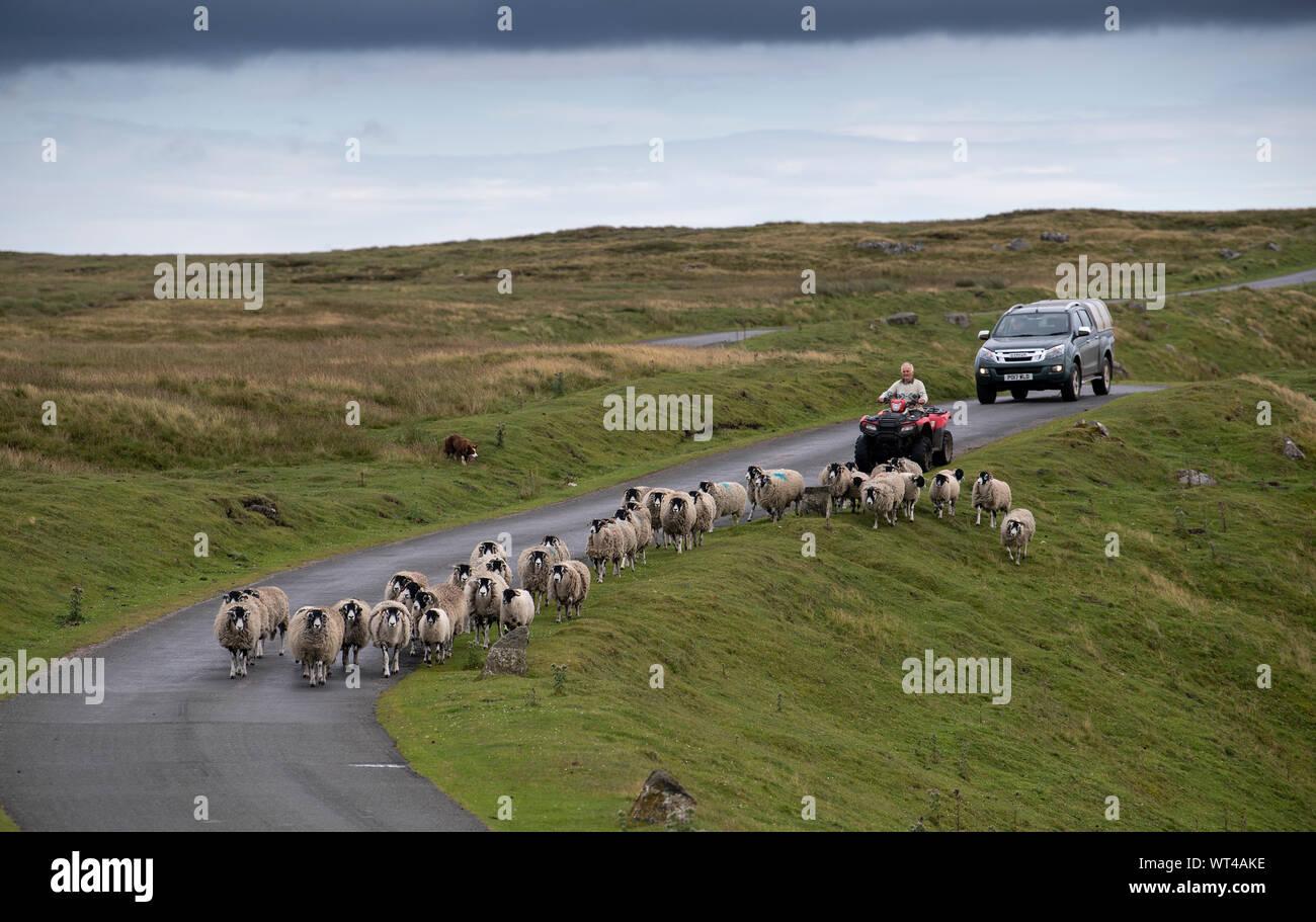 Un paysan sur un rassemblement de quads moutons swaledale off landes, les mettre sur une seule piste road. , Cumbria (Royaume-Uni). Banque D'Images