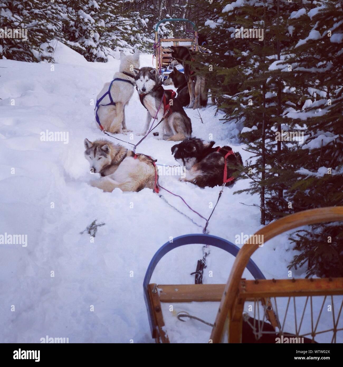Détente sur les chiens de traîneau sur le terrain couvert de neige Banque D'Images