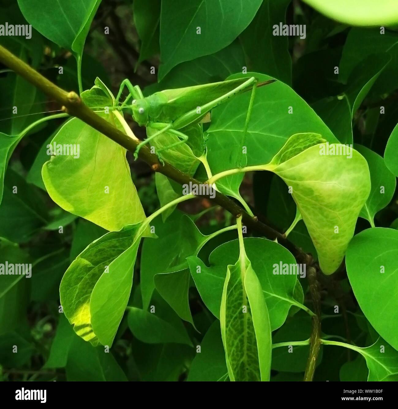 Masquer dans le feuillage vert sur une branche se trouve une grande sauterelle verte Banque D'Images