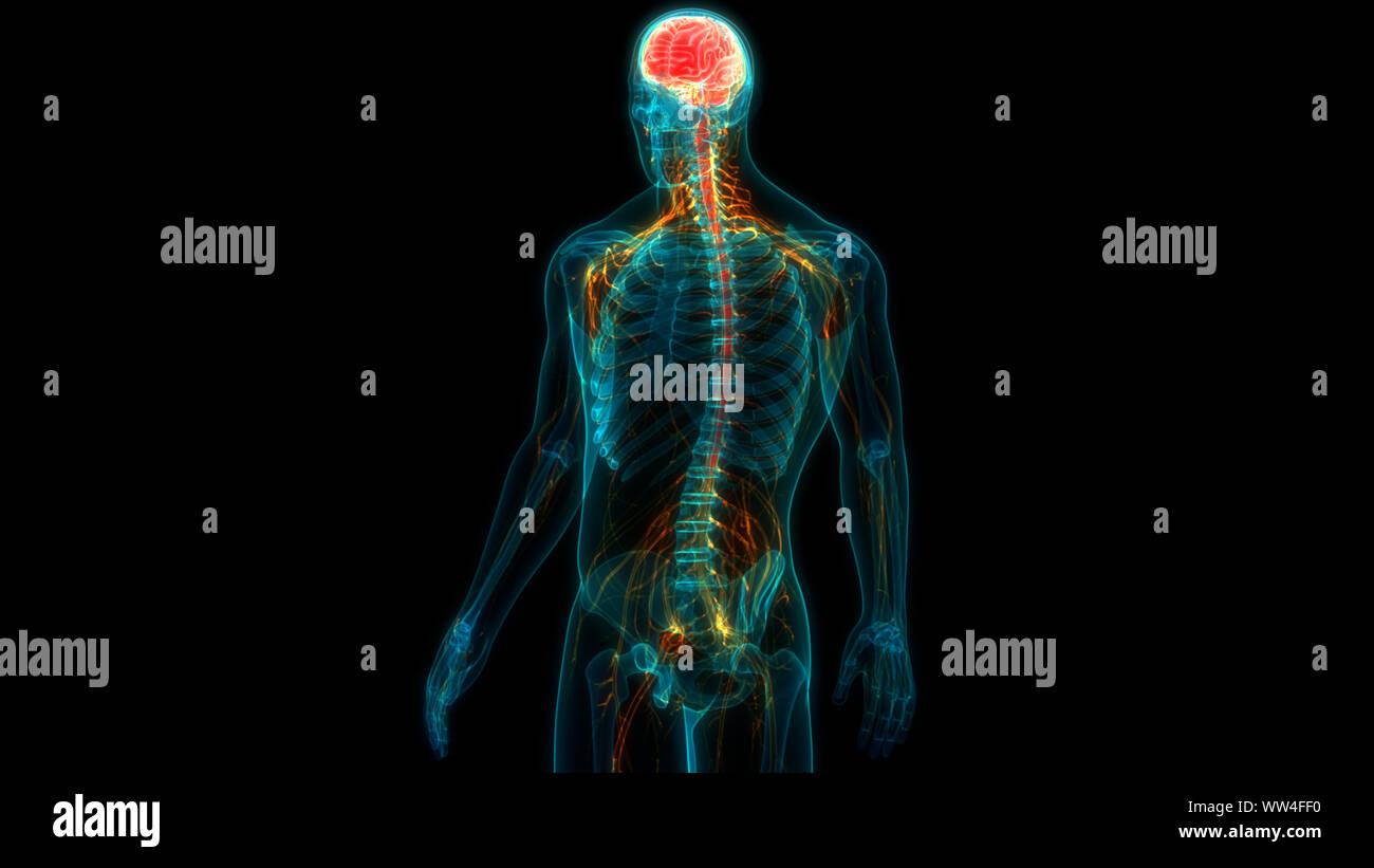 Organe central du système nerveux humain anatomie du cerveau Banque D'Images