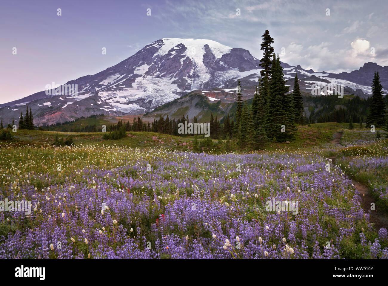 La floraison de la bistorte cotonneuse doux donne une apparence de neige parmi le brouillard dans la vallée du Paradis Washington's Mt Rainier National Park. Banque D'Images