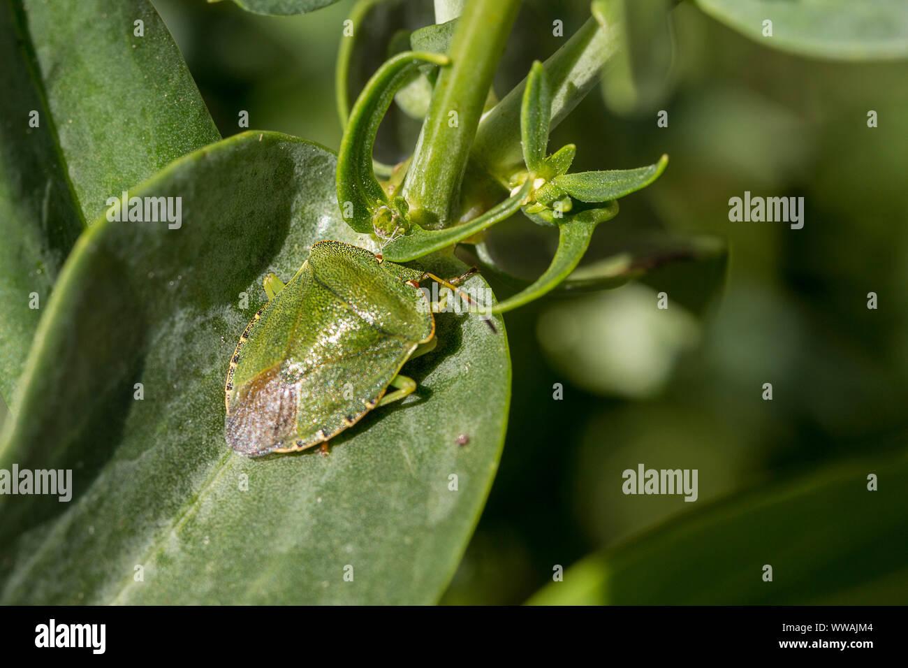 Green Shield bug (Palomena prasina) Nude-Look dans de minuscules points noirs, pointe d'ailes sombres, contour de forme ovale. La forme du bouclier bug vert sur la végétation dans le jardin Banque D'Images
